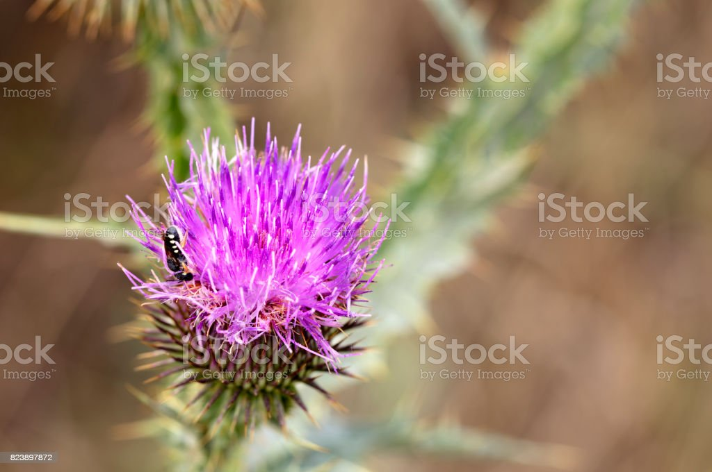 An insect on a flowering thistle flower looking for nectar stock photo