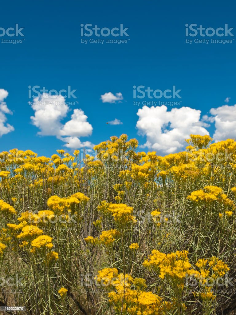 An intensive yellow wild flowers against a blue sky stock photo