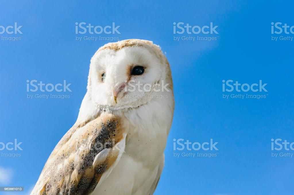An Irish barn owl against a blue sky - Royalty-free Animal Stock Photo