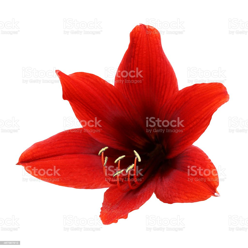 An isolated amaryllis red flower stock photo