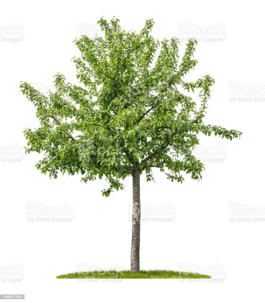 An isolated apple tree on a white background stock photo