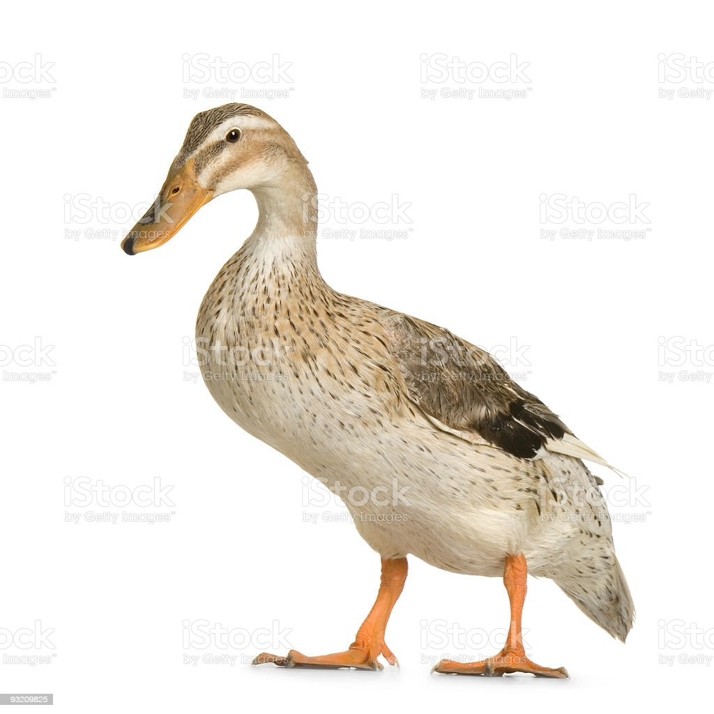 An isolated duck on a white background stock photo