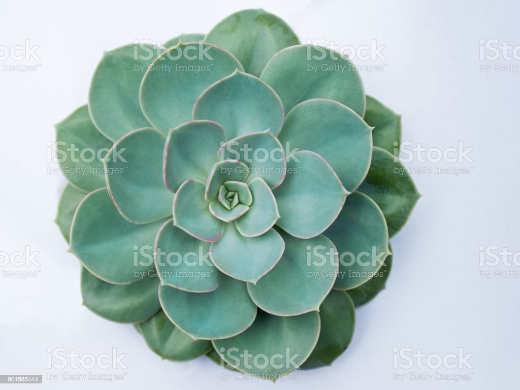 An isolated Echeveria plant stock photo