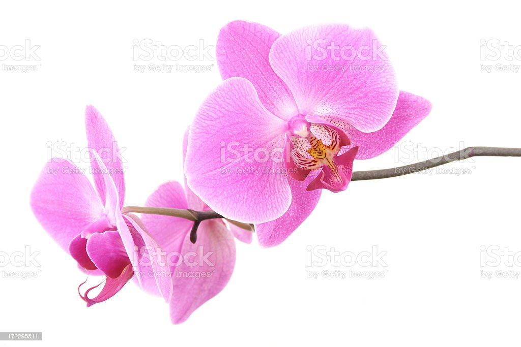 An isolated image of pink orchid blossoms stock photo