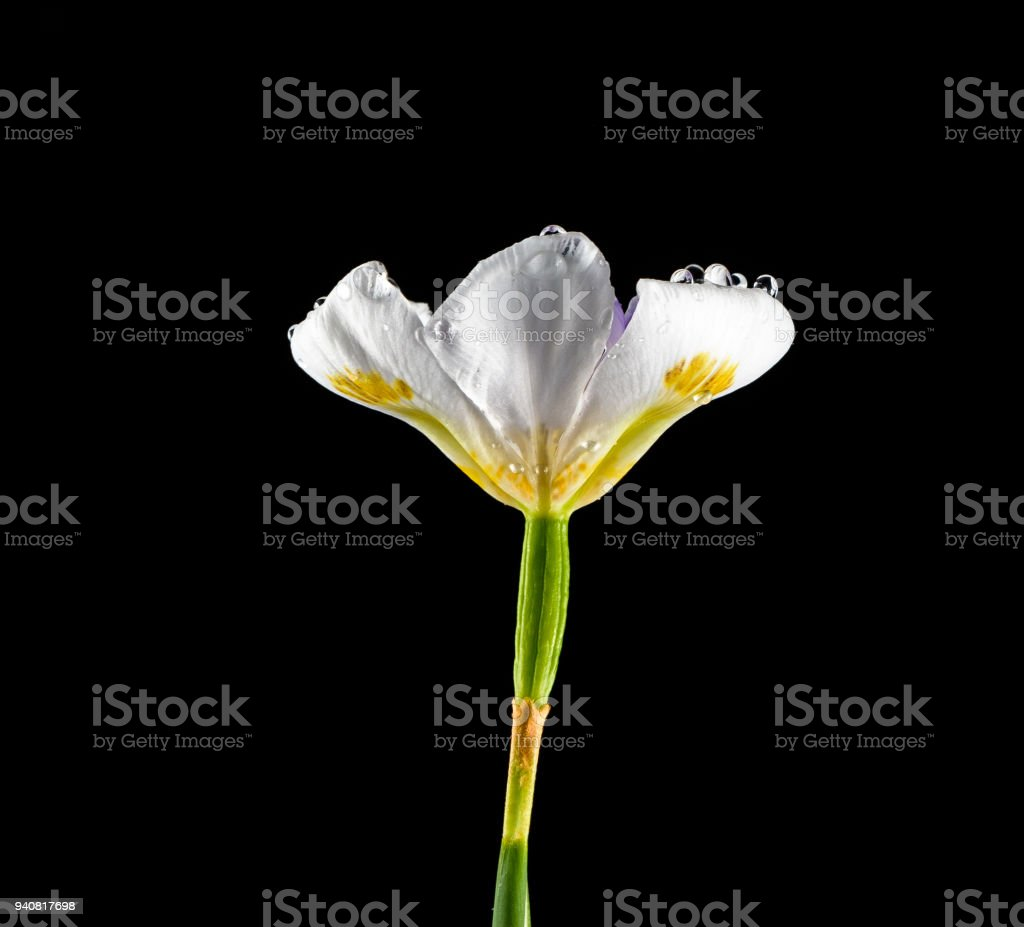 An isolated iris flower against a black background stock photo an isolated iris flower against a black background royalty free stock photo izmirmasajfo