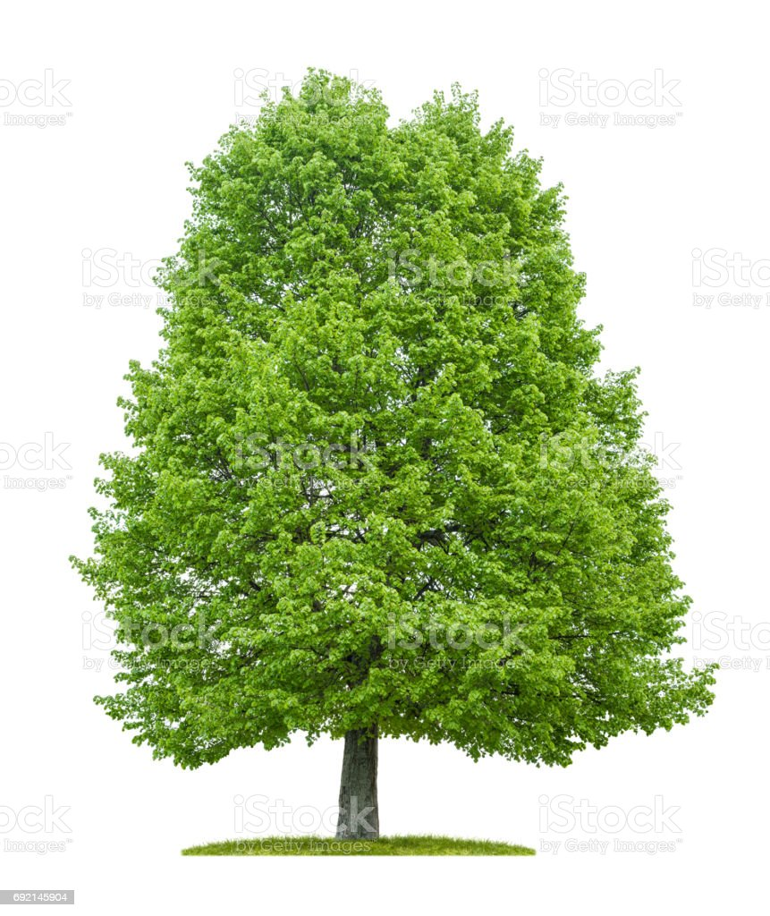 An isolated lime tree on a white background stock photo