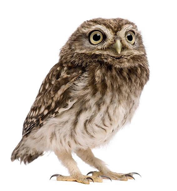 An isolated little owl athene noctua at 50 days old picture id450637999?b=1&k=6&m=450637999&s=612x612&w=0&h=61dddm8ojupljgpdxz3356gm5bbncntlmavxe2pe89m=
