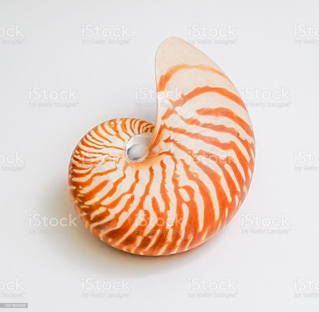 An isolated Nautilus Seashell stock photo
