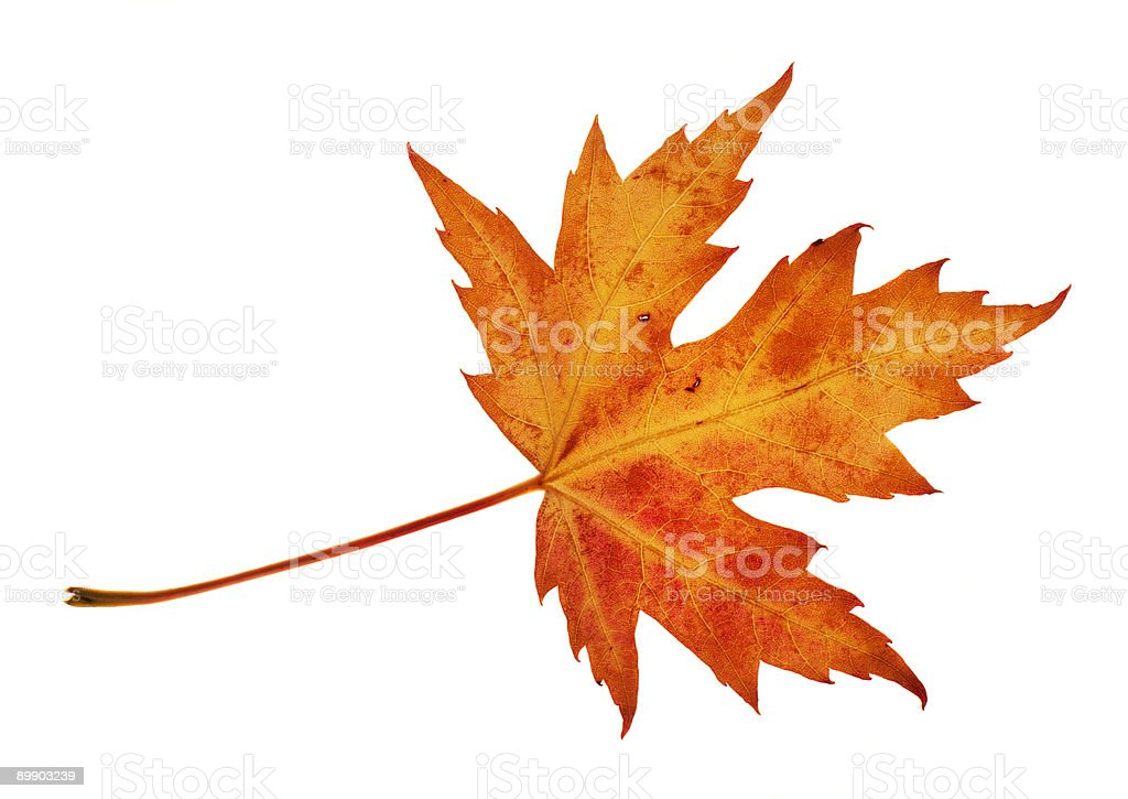 An isolated picture of a red leaf royalty free stockfoto