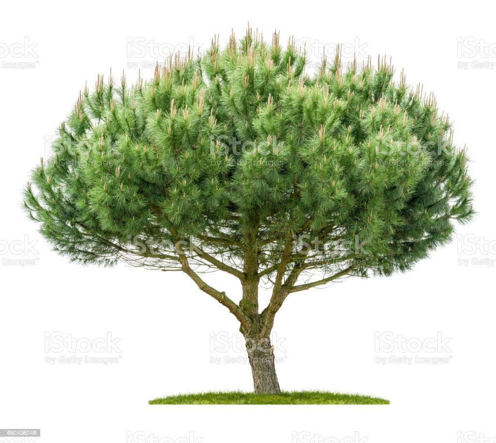 An isolated pine tree on a white background stock photo