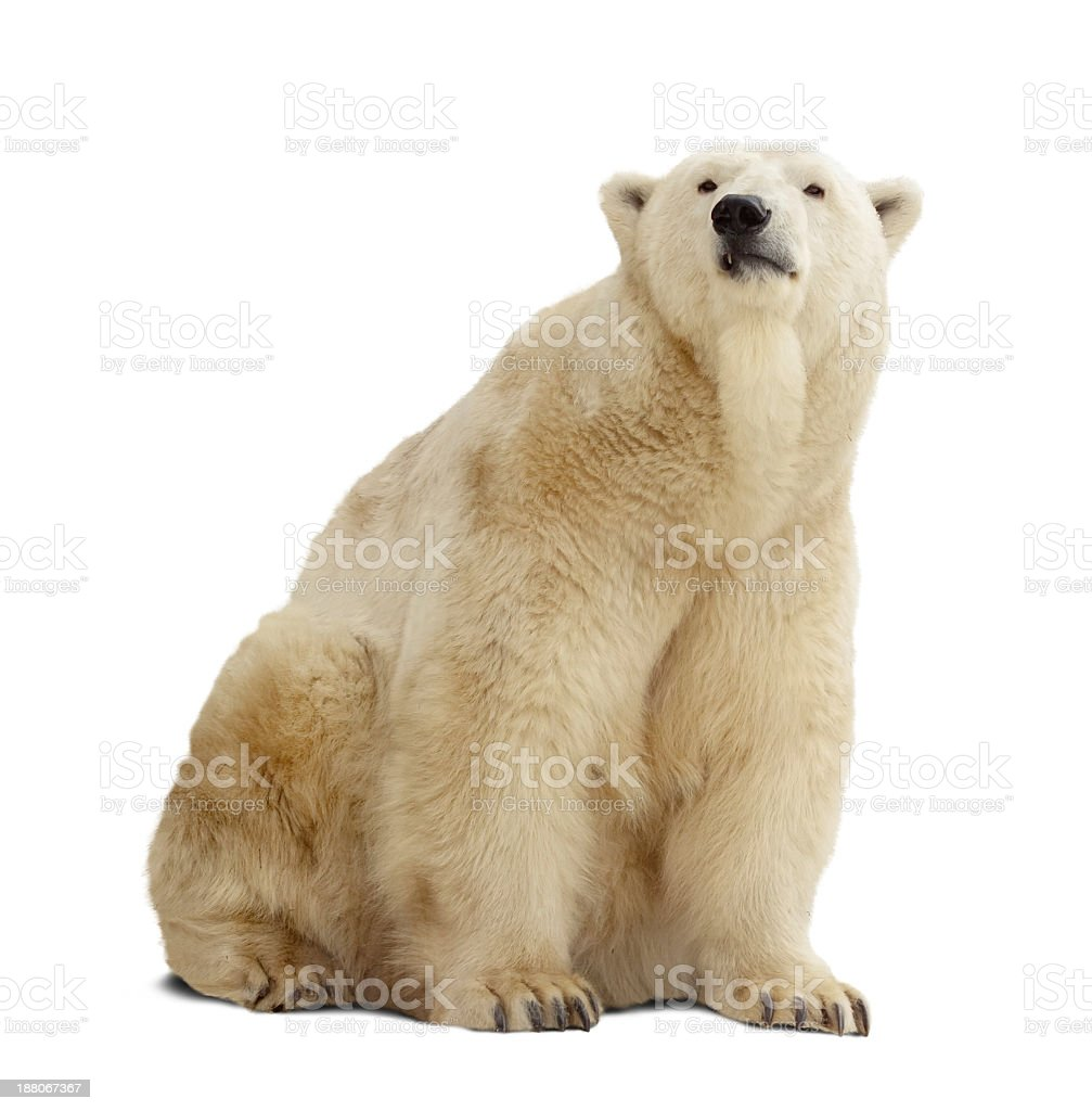 An isolated polar bear on a white background stock photo