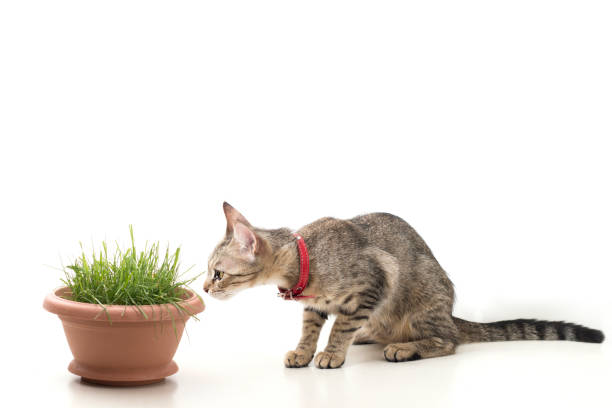 An isolated striped cat sitting and smelling to grass in pot picture id806988458?b=1&k=6&m=806988458&s=612x612&w=0&h=t pbmjuaf57pgnctze2ao0t1k6bhjqcqmrlav3tfrno=