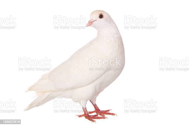 An isolated white pigeon on a white background picture id155552819?b=1&k=6&m=155552819&s=612x612&h=knffgydafbwhxa fufv30hnrvln3eyykxymrtkn1qwi=