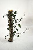 A log with Ivy growing up it with a white background