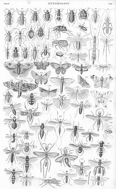 insetti vecchia stampa per litotripsia nel 1852 - acquaforte foto e immagini stock