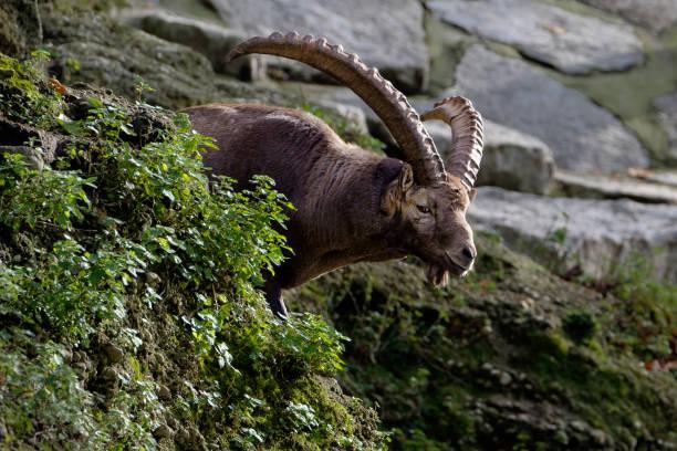 Eine männliche Steinböcke wacht über seine Herde – Foto