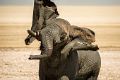 A male bull elephant taking a mud-bath and shaking its head in the Etosha National Park in Namibia,