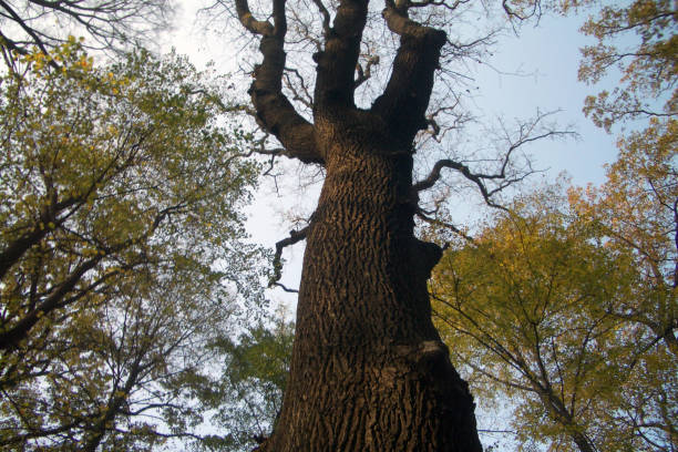 An oak in the forest at cottage area of Karany stock photo
