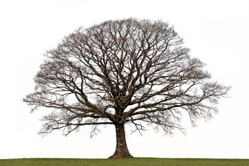 An oak tree in the winter with no leaves