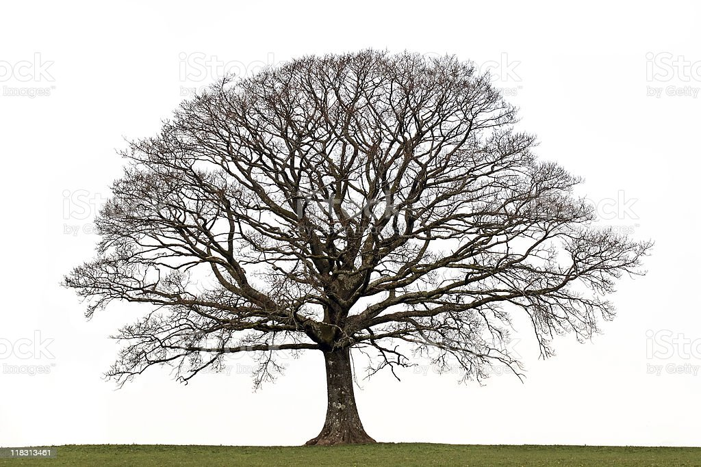 An oak tree in the winter with no leaves stock photo