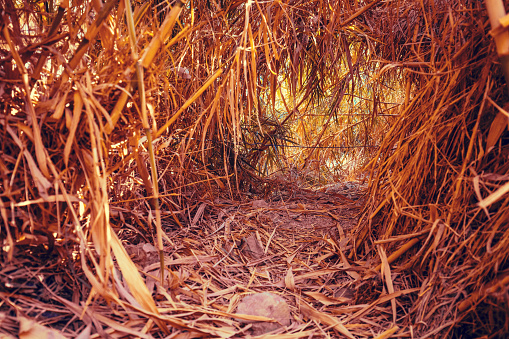 An oasis in the desert. A tunnel in the bamboo thicket along the path to the David Waterfall. Ein Gedi Reserve, Israel
