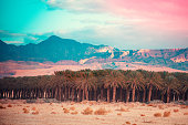 An oasis in the desert. Palm trees grove in the desert at sunset. Plantation of palm trees on a background of mountains. View of Jordan
