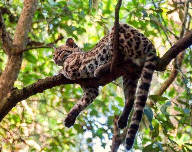 an ocelot rests on a tree branch - ocelot foto e immagini stock
