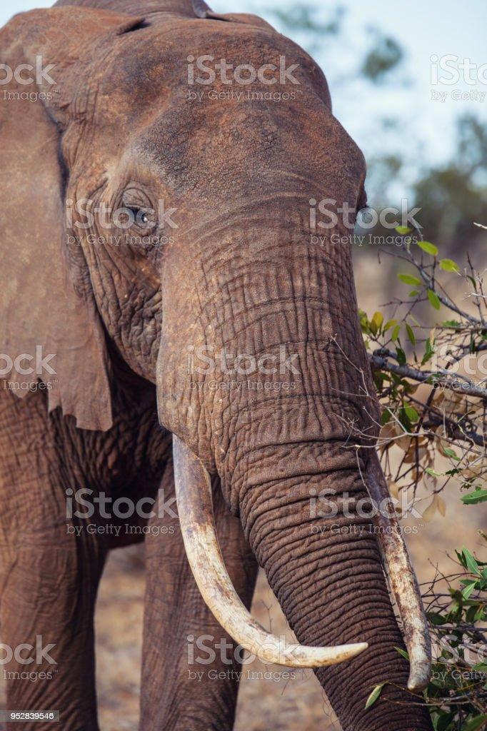 Un Vecchio Elefante stock photo