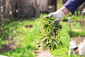 a man in gloves throws out a weed that was uprooted from his garden