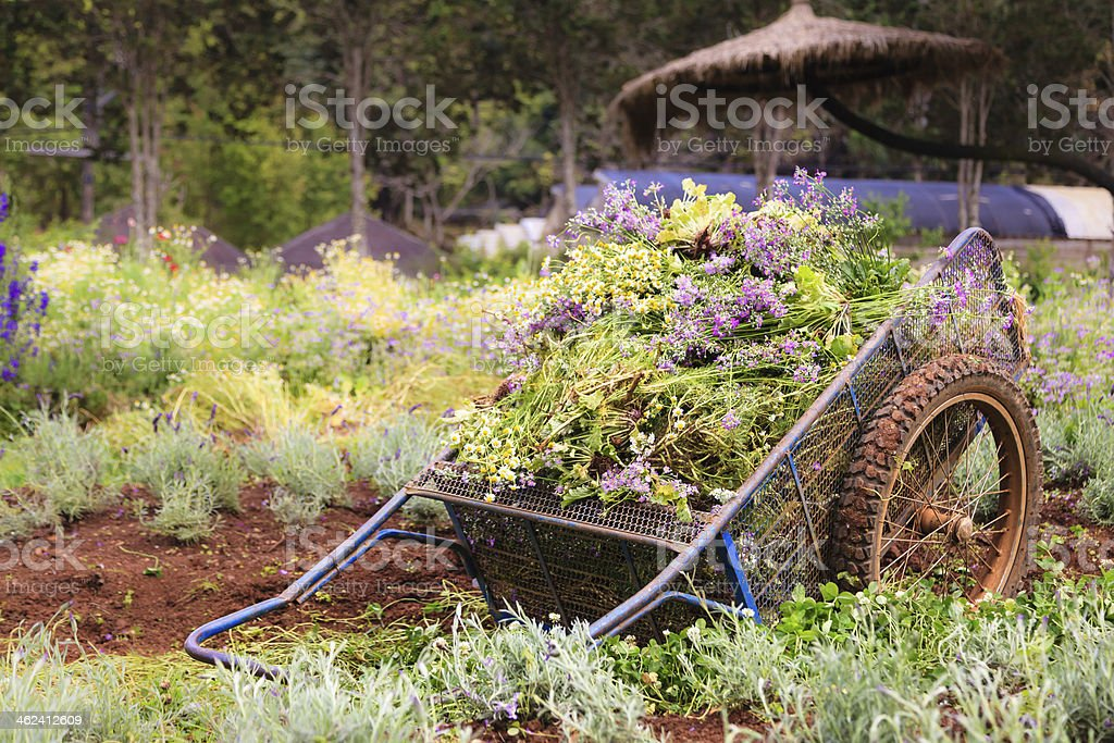 An old pushcart in the flowers field stock photo