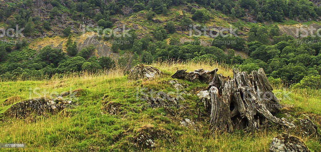 An old tree rotting on the fellside royalty-free stock photo