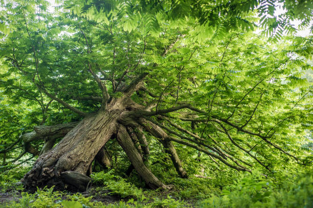 An old tree that has survived falling over, now bright green in spring stock photo