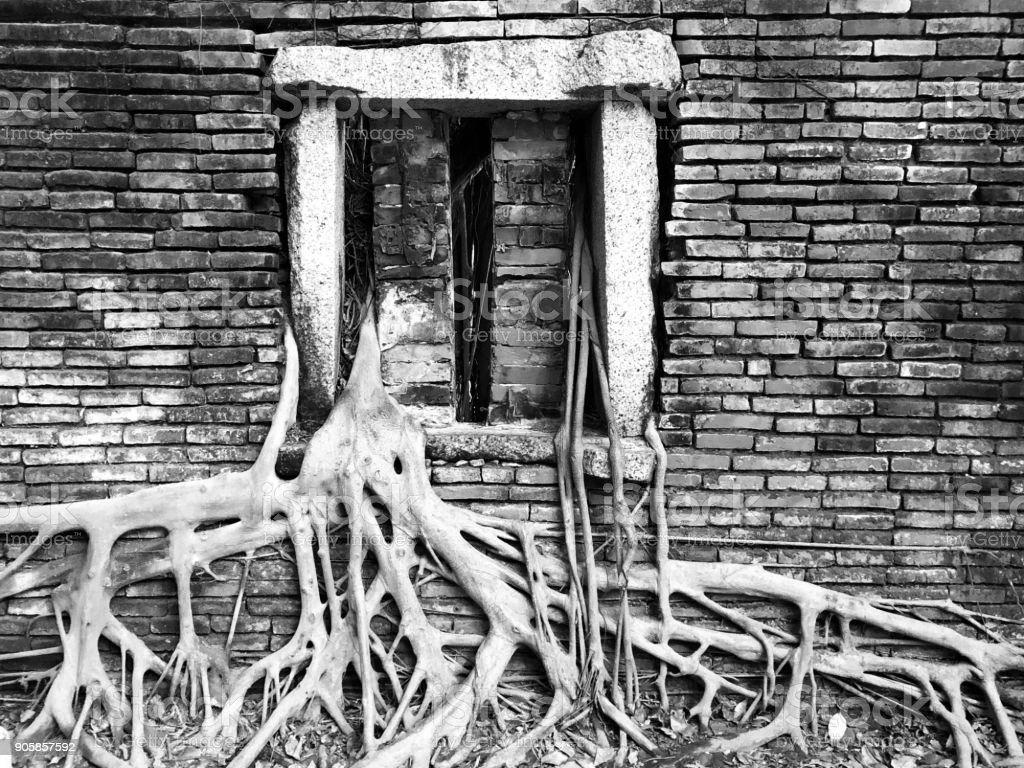 An old window in a brick wall has the roots of a mangrove tree sprouting through it - black and white image stock photo