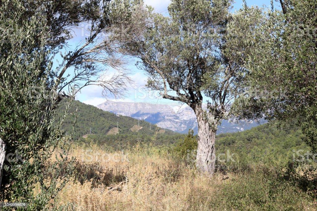 Un árbol de olivo con un backgrund de densos bosques y montañas como se ve en el castillo del pueblo medieval rural de Boltaña, en el Pirineo Aragonés Español - foto de stock