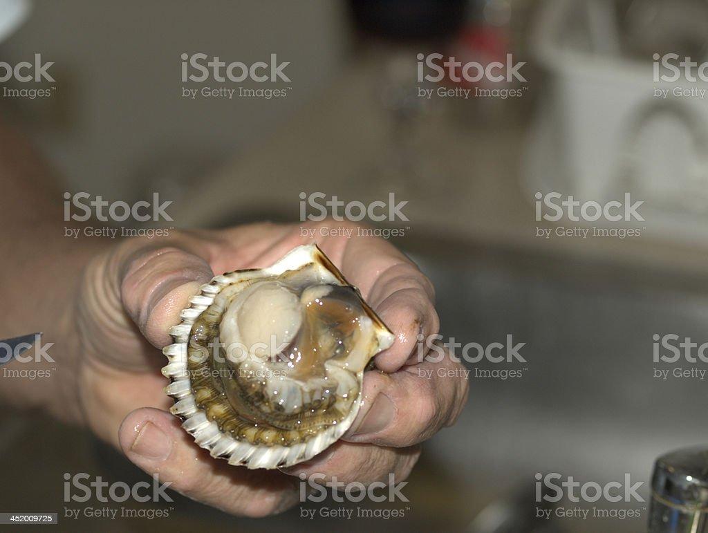 an open fresh bay scallop royalty-free stock photo