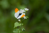 An orange and white butterfly (Anthocharis cardamines) searching for nectar
