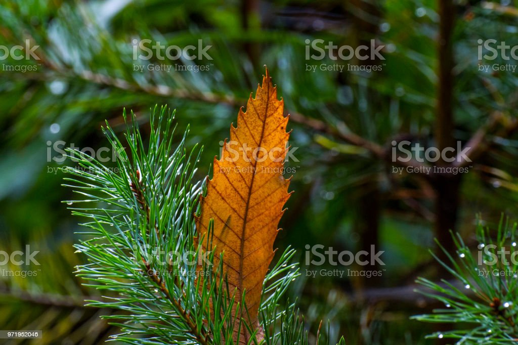 An orange autumn leaf stuck in the needles of a pine tree stock photo