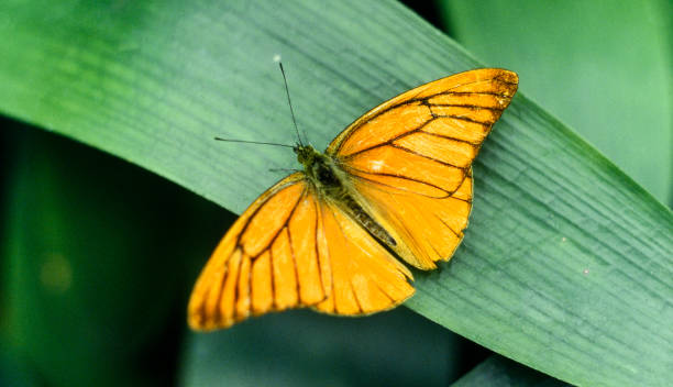 an orange butterfly resting on a green leaf stock photo