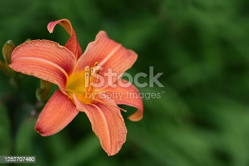 An orange day lily glows brightly against a green background in summer