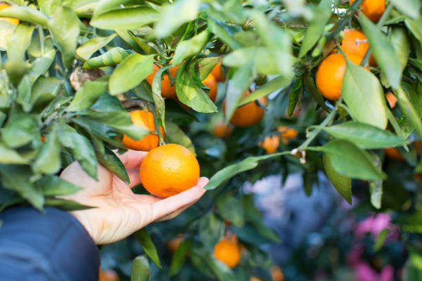 an orange fruit hanging from tree held in hand - jeju island stock photos and pictures