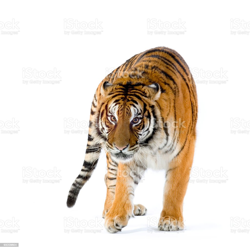 An orange tiger with black stripes walking stock photo