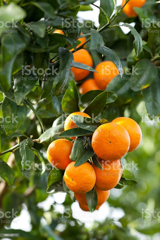 An orange tree with branches full of ripe oranges  royalty-free stock photo