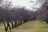 an orchard of old apple trees in Kolomemskoye park in early spring.