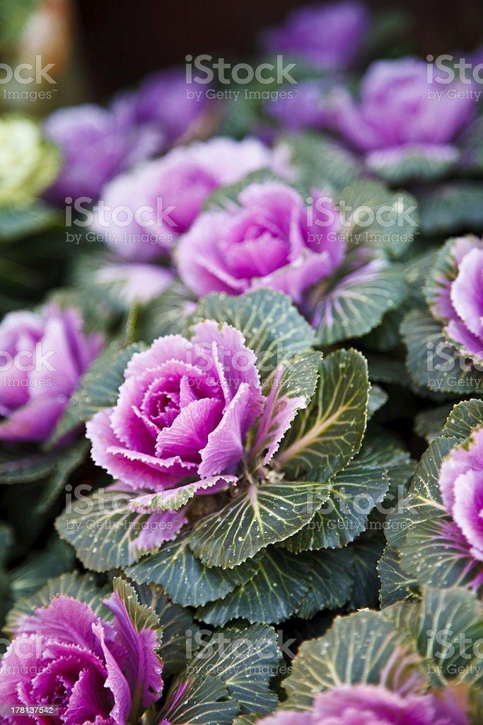 An ornamental kale in full bloom stock photo