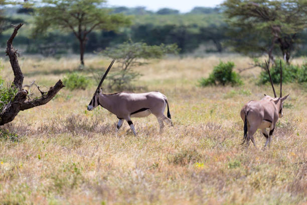 en oryx familj står i hagen omgiven av grönt gräs och buskar - gemsbok green bildbanksfoton och bilder