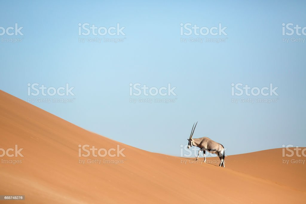 An Oryx walking through the sand dunes. stock photo