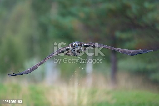 an osprey in flight with the forest in the background on a lake in Northern Finland