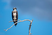 istock An osprey on a branch with cloudy skies in Northern Finland near Kuusamo 1272588535