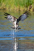 istock an osprey on the hunt, in flight  in a lake in northern finland vertical view 1272588481