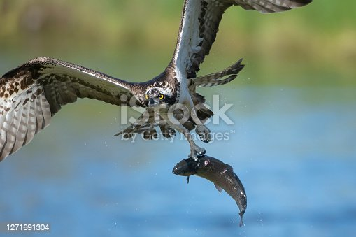 istock an osprey on the hunt, in flight with a fish caught in a lake in northern finland 1271691304